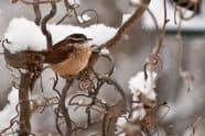 Carolina Wren in Snow - Jeff Wendorff Photographer