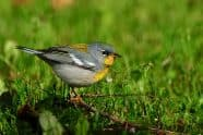 Northern Parula at Ft. DeSoto, Jeff Wendorff Photographer