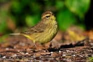 Palm Warbler at Ft. DeSoto, Jeff Wendorff Photographer