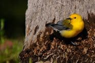 Prothonotary Warbler at Ft. DeSoto, Jeff Wendorff Photographer