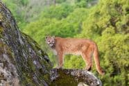 Cougar in rocky habitat staring - Jeff Wendorff Photographer