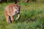 Cougar preparing to leap - Jeff Wendorff Photographer