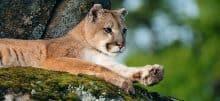 Cougar resting on a boulder - Jeff Wendorff Photographer