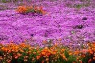 California Carpet of Wildflowers poppies and purple flowers - Jeff Wendorff Photographer