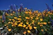 California Poppy, Eschscholzia californica and Lupine - Jeff Wendorff Photographer