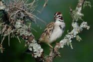 Lark Sparrow, Chondestes grammacus - Jeff Wendorff Photographer