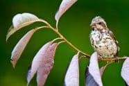 Juvenile female Rose-breasted Grosbeak in an Ornamental Black Cheery Tree - Jeff Wendorff Photographer