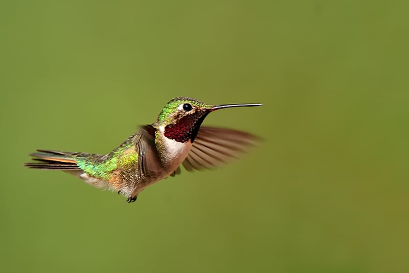 Hummingbird in flight photographed by Jeff Wendorff