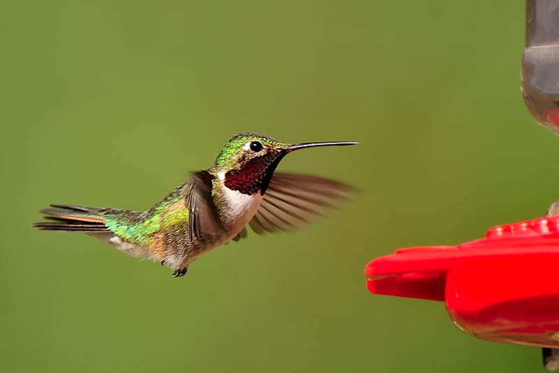 Hummingbird in flight at a feeder photographed by Jeff Wendorff