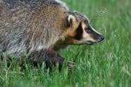 American Badger, Taxidea taxus - Jeff Wendorff Photographer