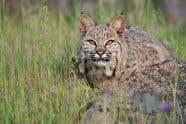 Bobcat - Jeff Wendorff Photographer