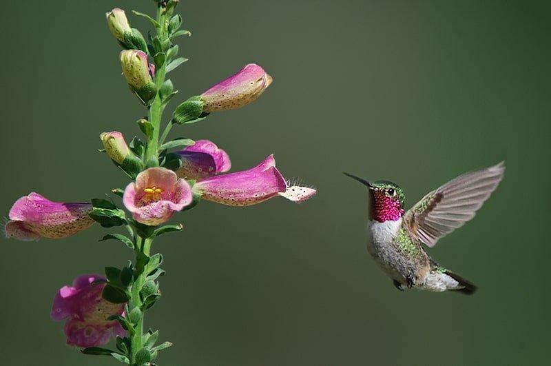 Broad-tailed Hummingbird, Selasphorus platycercus. In flight with Foxglove - Jeff Wendorff Photographer