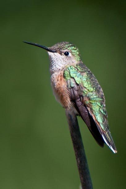 Broad-tailed Hummingbird, Selasphorus platycercus female perched closeup - Jeff Wendorff Photographer