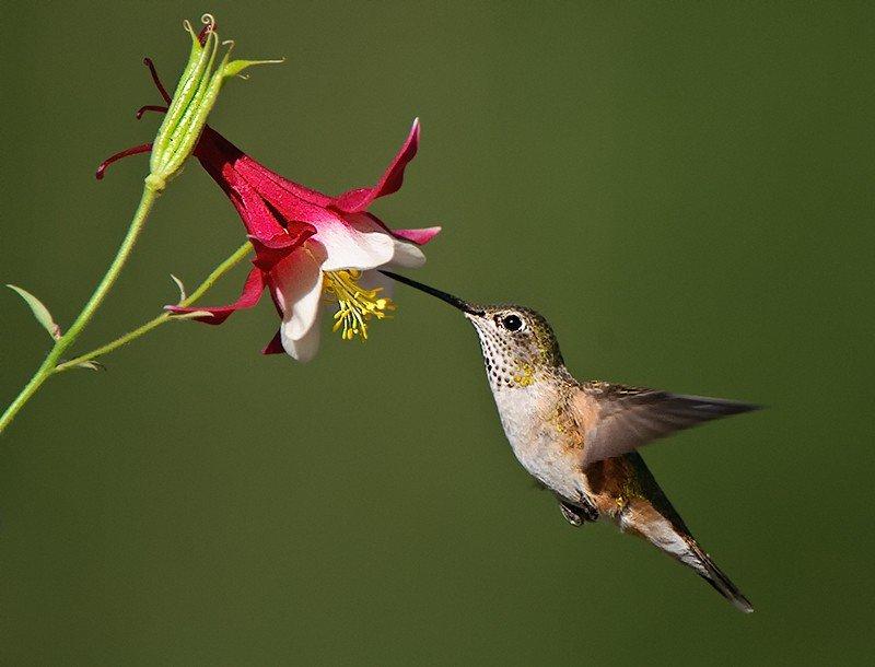 Broad-tailed Hummingbird, Selasphorus platycercus female in flight feeding on coumbine - Jeff Wendorff Photographer
