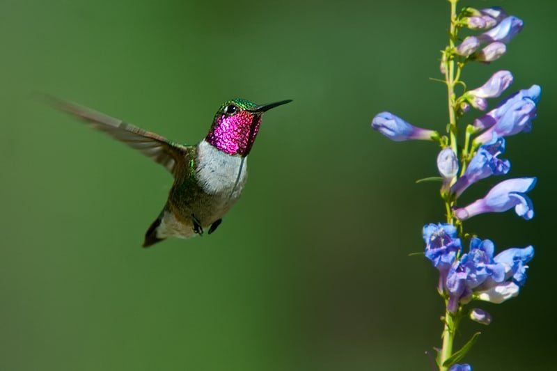 Broad-tailed Hummingbird, Selasphorus platycercus in flight with Lupine - Jeff Wendorff Photographer