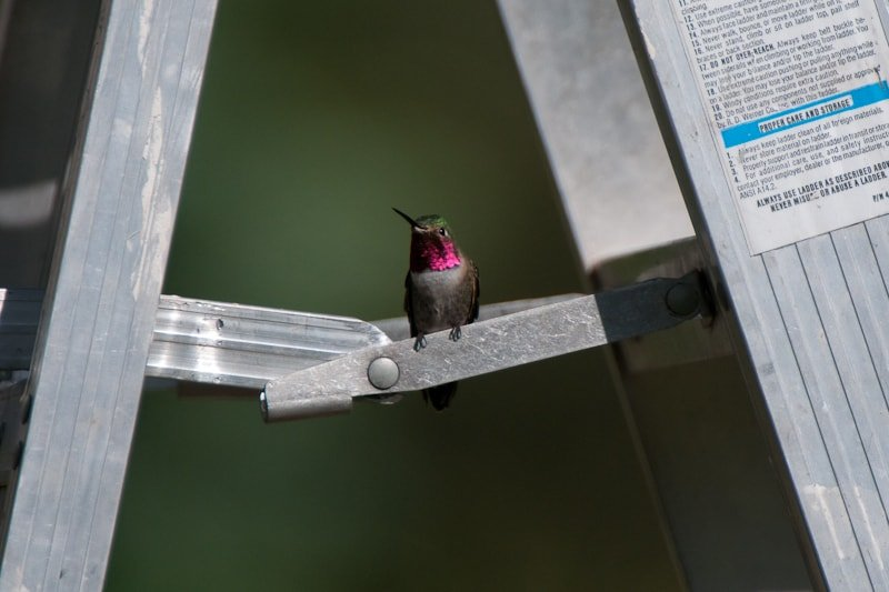 Hummingbird on a ladder photographed by Jeff Wendorff