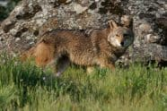 Coyote, Canis latrans. passing by - Jeff Wendorff Photographer