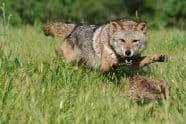 Coyote, Canis latrans attacking - Jeff Wendorff Photographer