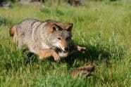 Coyote, Canis latrans. pouncing - Jeff Wendorff Photographer