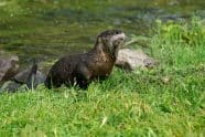 North American River Otter leaving water - Jeff Wendorff Photographer