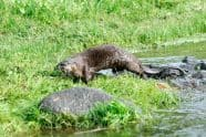 North American River Otter running - Jeff Wendorff Photographer
