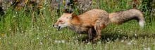 Red Fox, Vulpes vulpes running panorama - Jeff Wendorff Photographer