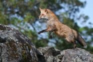 Red Fox, Vulpes vulpes leaping on rocks - Jeff Wendorff Photographer
