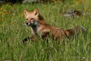 Red Fox, Vulpes vulpes running - Jeff Wendorff Photographer