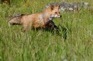 Red Fox, Vulpes vulpes running - Jeff Wendorff Photogapher