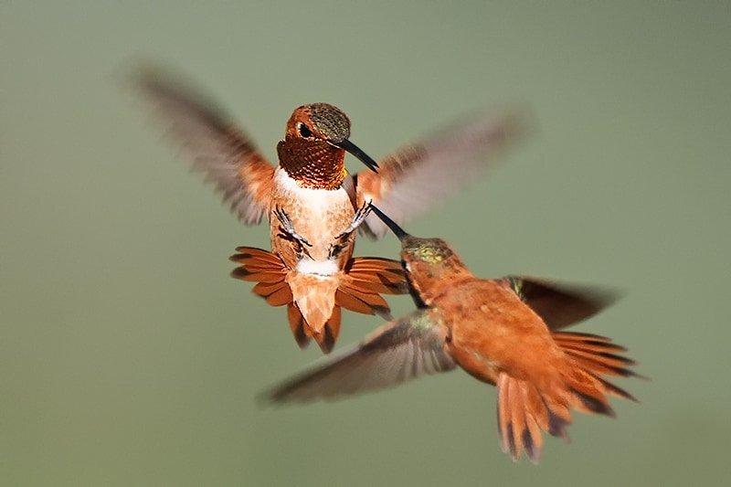 Rufous Hummingbird, Selasphorus rufus. Two males fighting - Jeff Wendorff Photographer