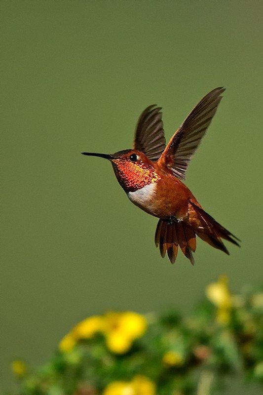 Rufous Hummingbird, Selasphorus rufus. Male in flight over cinque foil - Jeff Wendorff Photographer