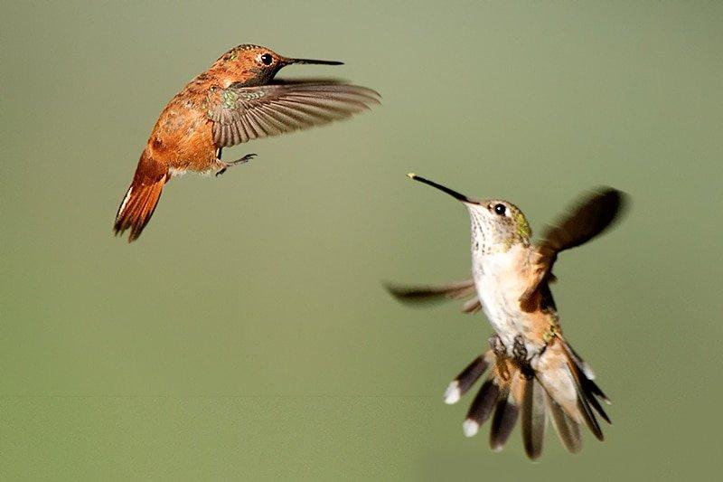 Rufous Hummingbird, Selasphorus rufus. Female defending against a male - Jeff Wendorff Photographer