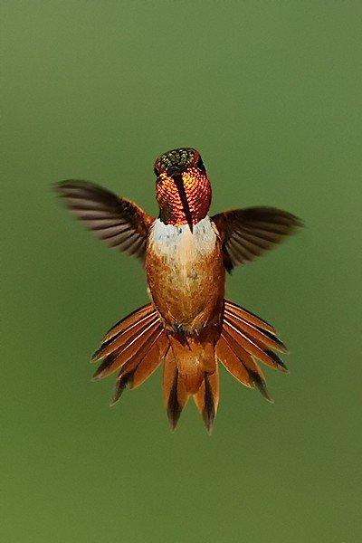 Rufous Hummingbird, Selasphorus rufus. Full frontal male hovering - Jeff Wendorff Photographer