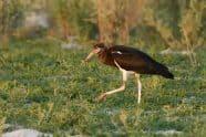 Abdim's Stork, Ciconia abdimii. Also White-bellied Stork - Jeff Wendorff Photographer