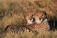 Pair of Cheetah at Sunset, Acinonyx jubatus - Jeff Wendorff Photographer