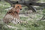 Bloody Cheetah, Acinonyx jubatus - Jeff Wendorff Photographer