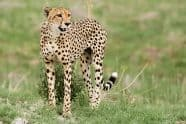 Cheetah, Acinonyx jubatus - Jeff Wendorff Photographer