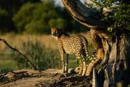 Cheetah Hunting at Sunset, Acinonyx jubatus - Jeff Wendorff Photographer