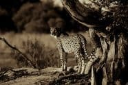 Cheetah Duo-Tone, Acinonyx jubatus - Jeff Wendorff Photographer