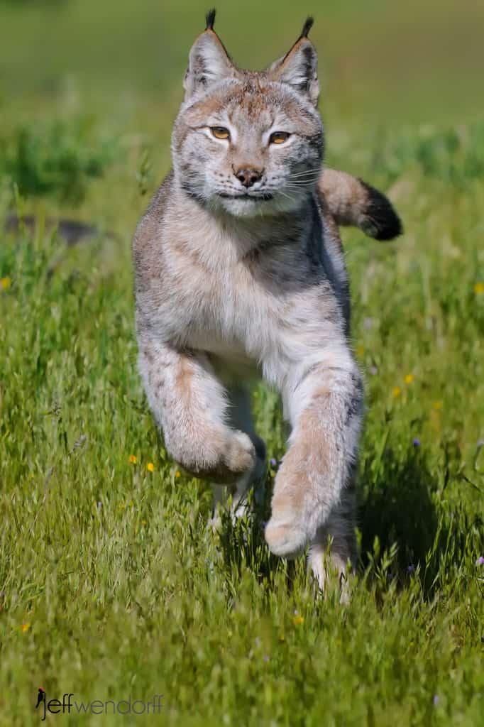 A Chain of Lynx – Eurasian Lynx Photos