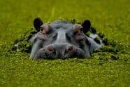 Hippopotamus - Jeff Wendorff Photographer
