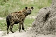 Juvenile Spotted Hyena - Jeff Wendorff Photographer