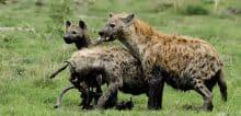 Spotted Hyena on a Kill - Jeff Wendorff Photographer