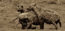 Spotted Hyena on a Kill Duo-Tone image - Jeff Wendorff Photographer