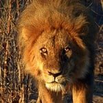 A Pride of Lions