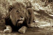 Lion, Panthera Leo - Jeff Wendorff Photographer