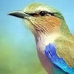 A Volery of African Birds