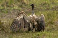 White-backed Vulture, Gyps africanus - Jeff Wendorff Photographer