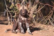 African Wild Dog, Lycaon pictus puppies - Jeff Wendroff Photographer