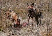 African Wild Dog, Lycaon pictus Adults on a kill - Jeff Wendroff Photographer